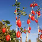 Lycium barbarum Big Lifeberry