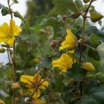 Fremontodendron California Glory
