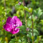 Hibiscus syriacus Purple Ruffles