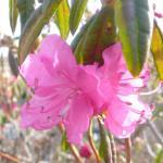 Rhododendron dauricum Ostara