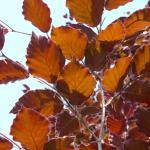 Fagus sylvatica Atropunicea
