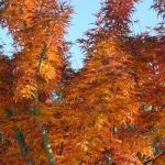 Acer palmatum Shishigashira
