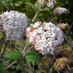 Viburnum carlcephalum
