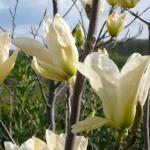 Magnolia brooklynensis Elizabeth