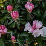 Rhododendron yakushimanum Koichiro Wada
