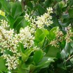 Ligustrum japonicum Texanum