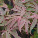 Acer palmatum Shirazz