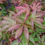 Acer palmatum Kandy Kitchen