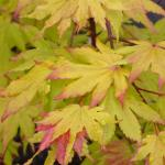 Acer shirasawanum Autumn Moon