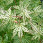 Acer palmatum Shigitatsu sawa