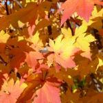Acer palmatum Herbstfeuer