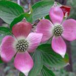 Cornus kousa Stellar Pink