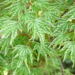 Acer palmatum Higasayama