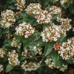 Viburnum tinus Eve Price
